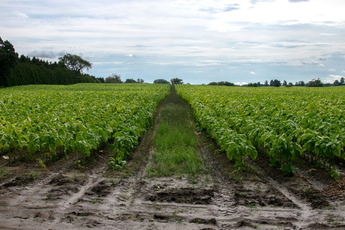 Image of rows of green tobacco plants.