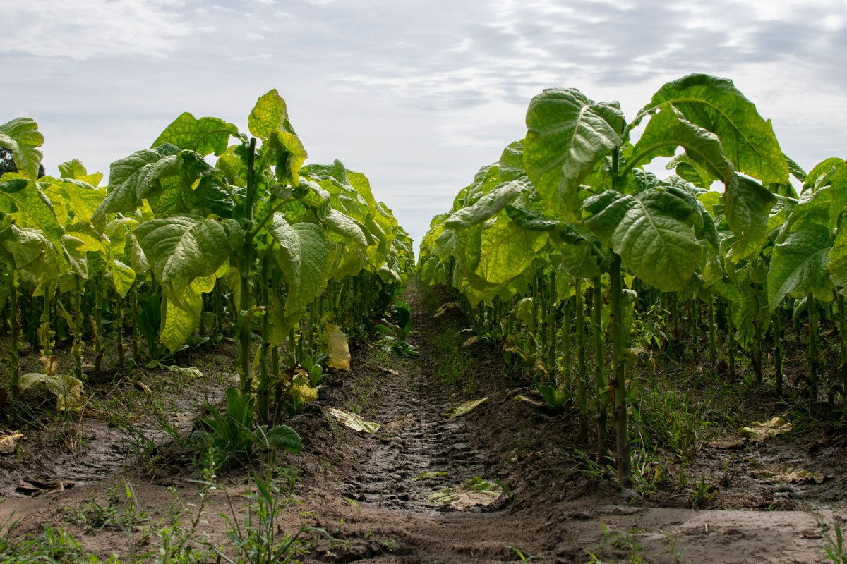 Image of tobacco field rows.