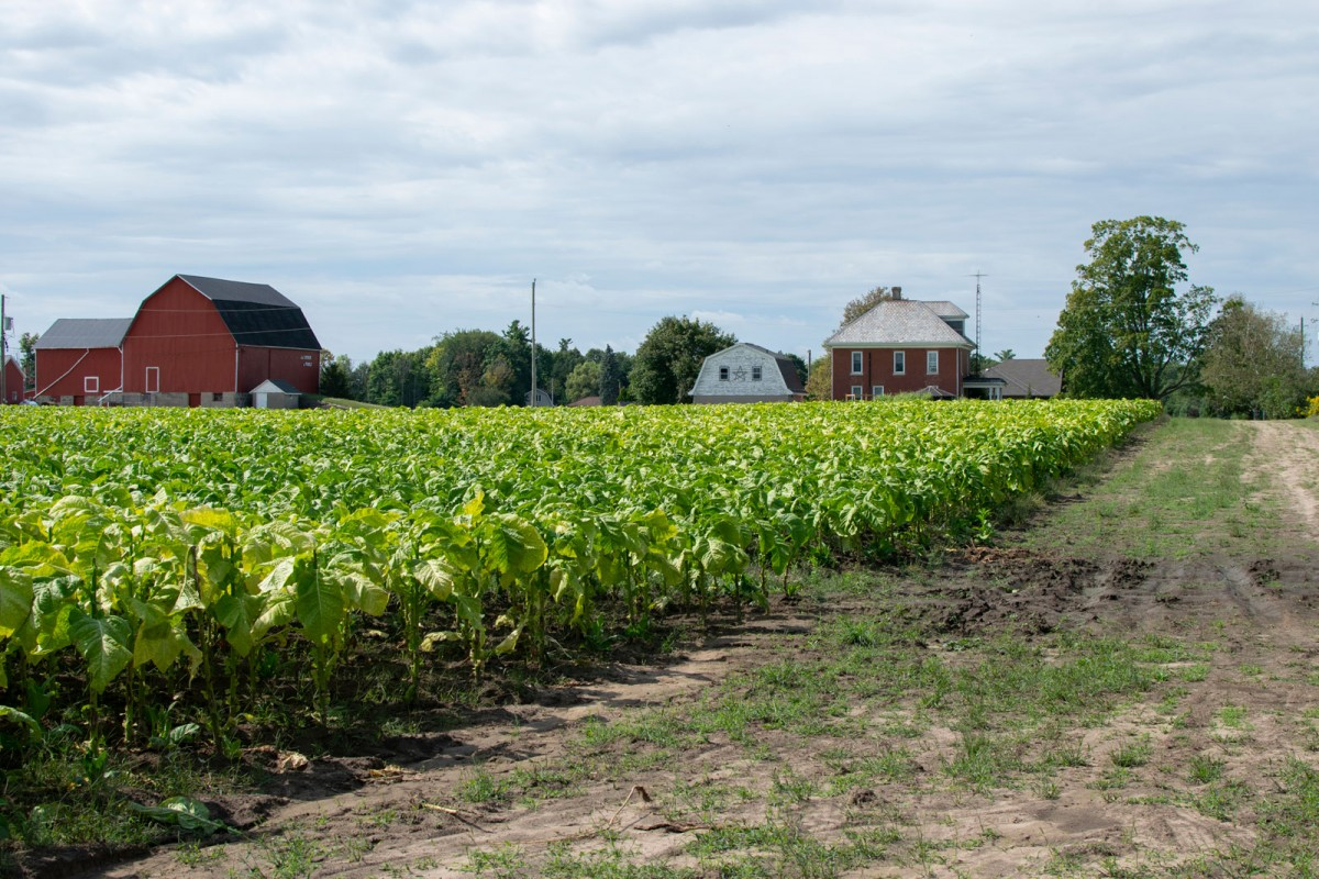 Image of a field of green tobacco plants with a farm and a farm house in the distance.