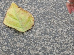 Image of an aging green and brown tobacco leaf on the concrete ground.