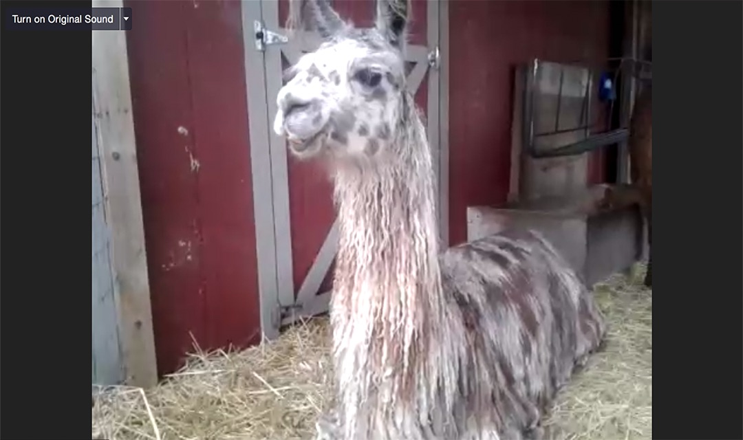 Image of a white and light brown llama named Specky.
